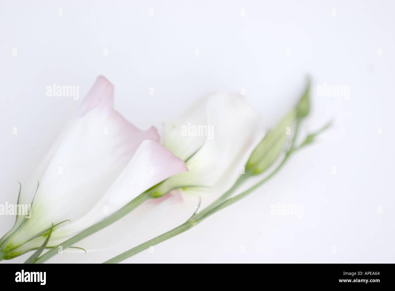 Lisianthus Eustoma grandiflorum - Stock Image