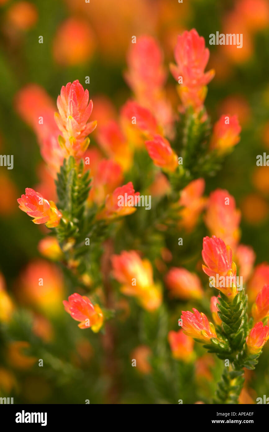 Calluna Vulgaris Spring Torch Heather Stock Photo 1501934 Alamy