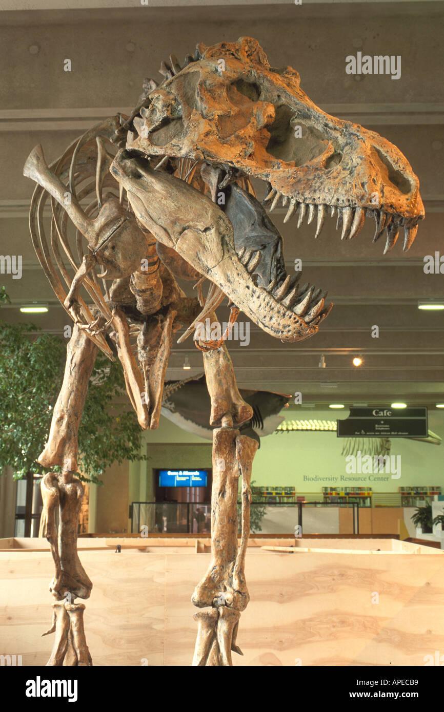 Fossil skeleton bones of dinosaur California Academy of Sciences Golden Gate Park San Francisco California - Stock Image