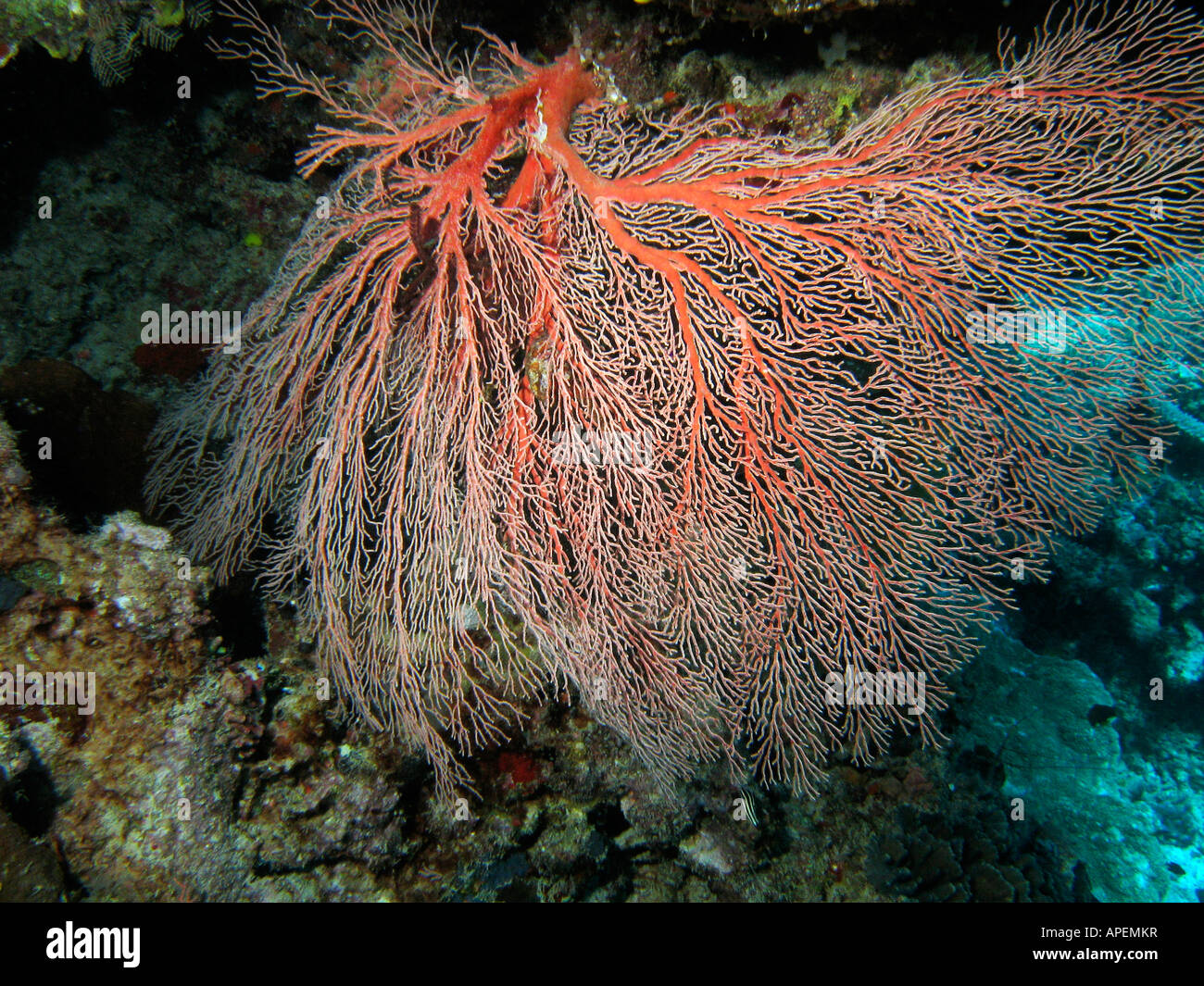 Fan Coral Agincourt Reef Great Barrier Reef North Queensland Australia Stock Photo