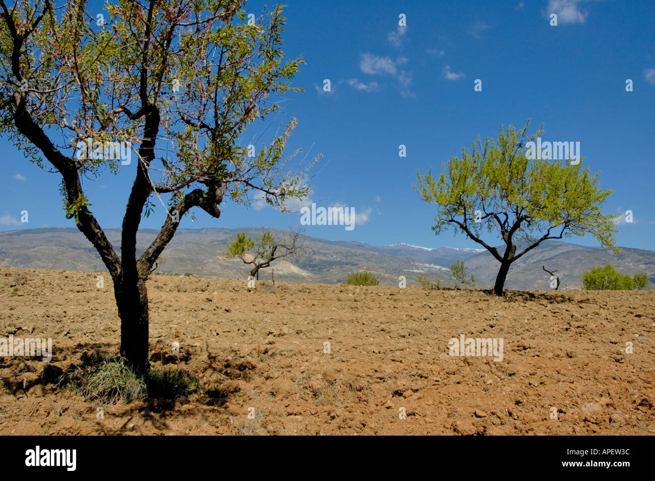 Andalusia, Spain - Fruit trees in a ploughed field the Alpujarras Mountains near Granada, Andalucia - Stock Image