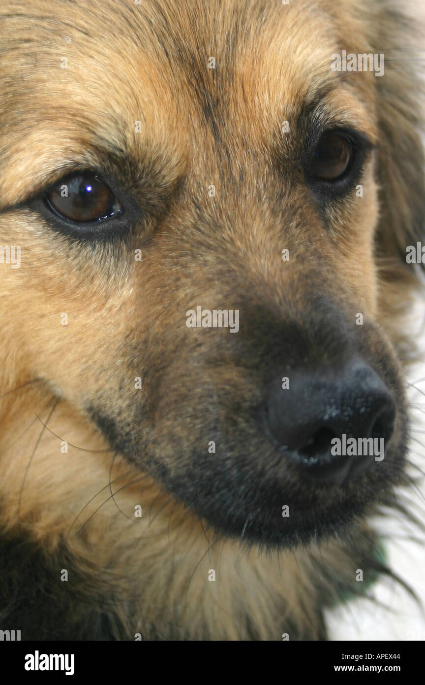 Crossbred dog - Stock Image