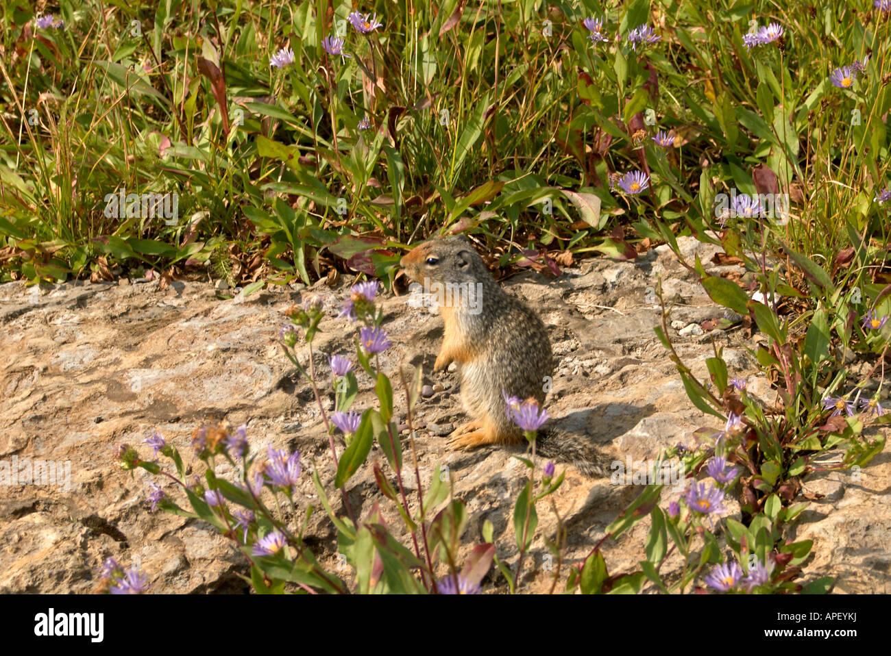 Ground Squirrel spermophilus columbianus and purple aster townsendia parryi Stock Photo