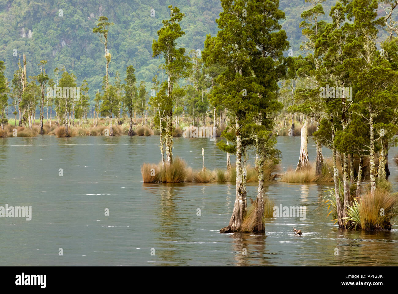 Partially submerged trees in the wetland margins of Lake Brunner - Stock Image