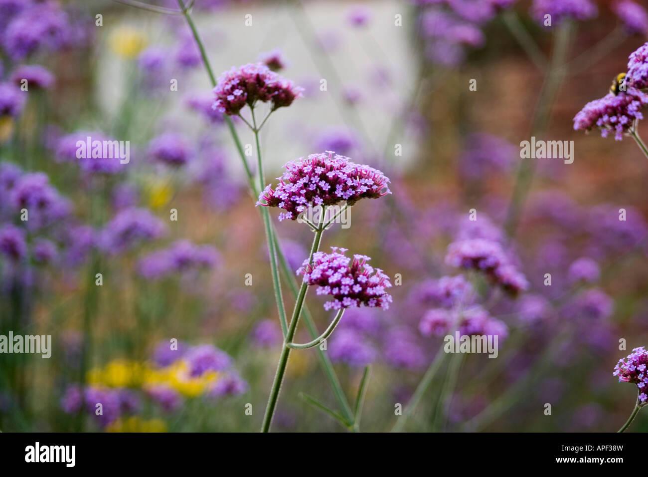 Purple flowers on tall stems stock photo 15772056 alamy purple flowers on tall stems mightylinksfo