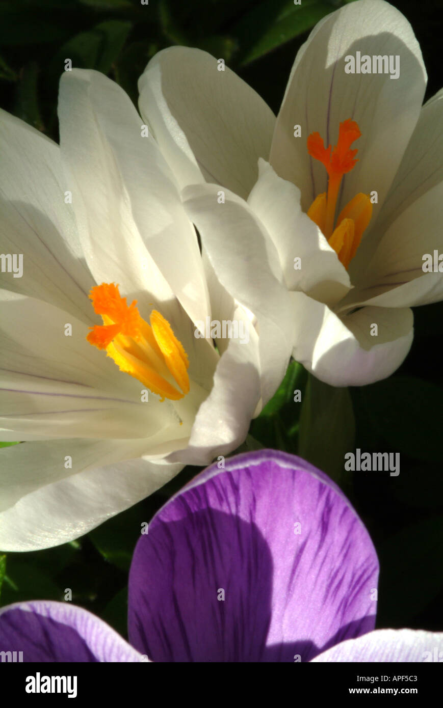 White crocus flowers in bloom in a cheshire garden england united white crocus flowers in bloom in a cheshire garden england united kingdom uk mightylinksfo