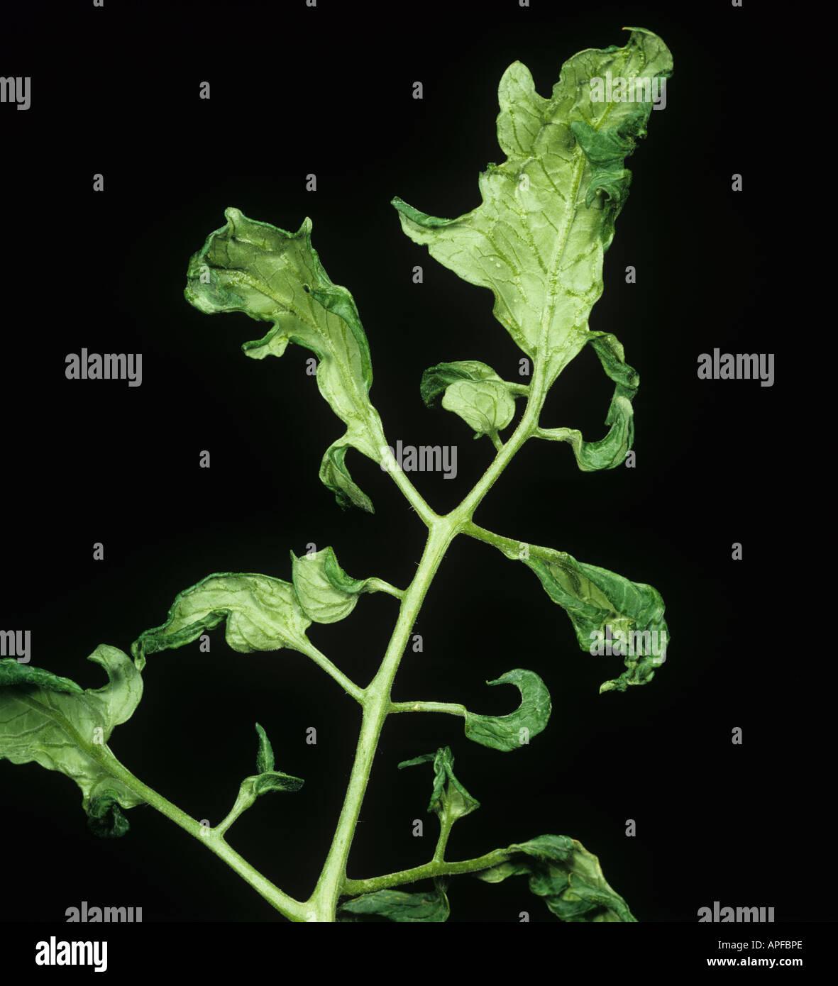 Fern leaf a sympton of cucumber mosaic virus on tomato - Stock Image