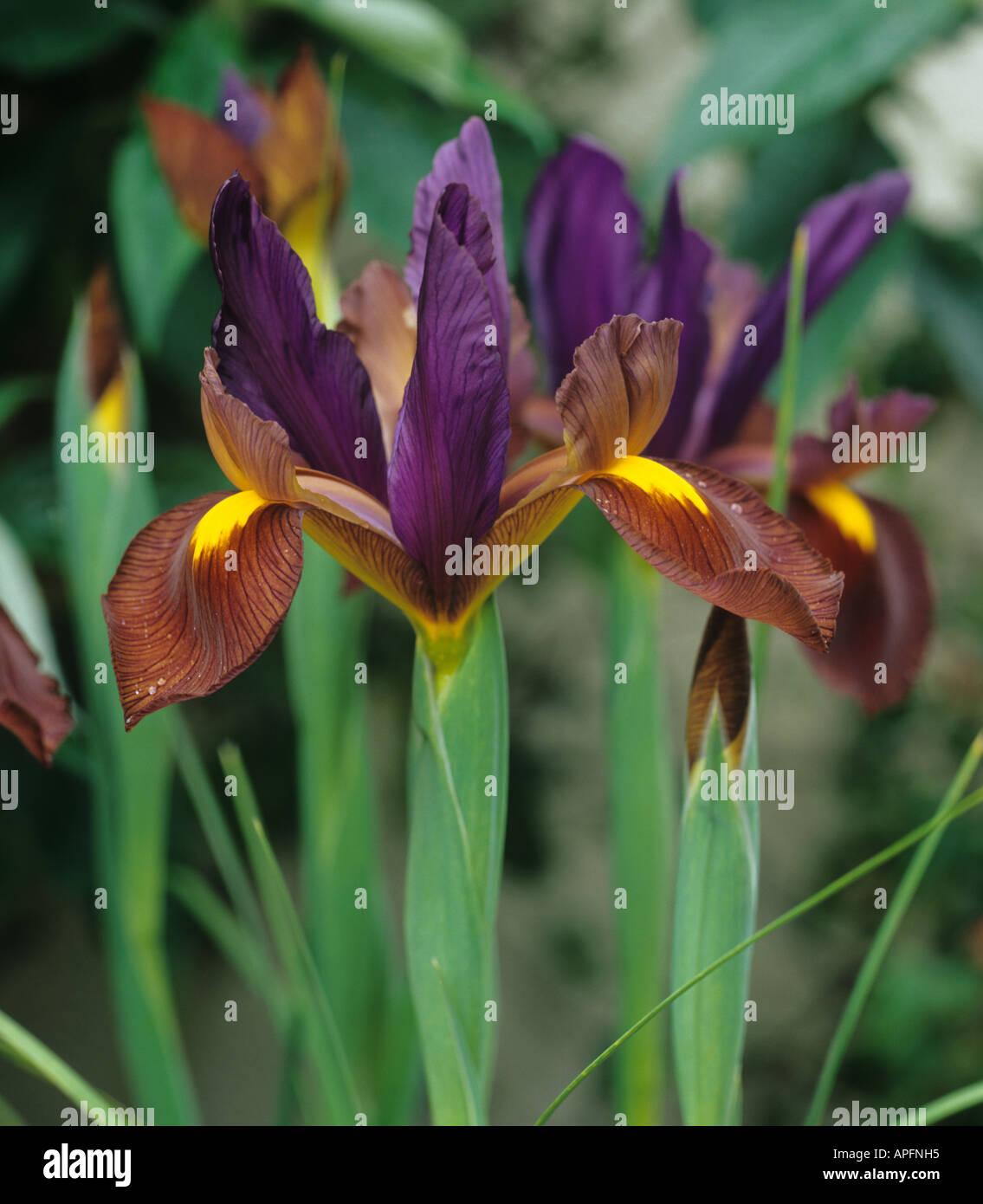 Black iris flowers stock photos black iris flowers stock images flowers of iris black beauty stock image izmirmasajfo
