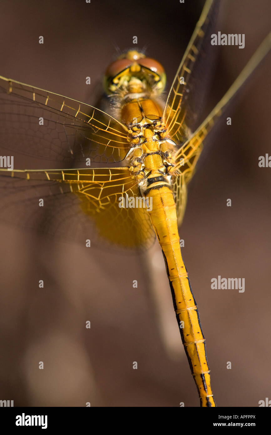 Closeup of Dragonfly anatomy Stock Photo: 15778609 - Alamy