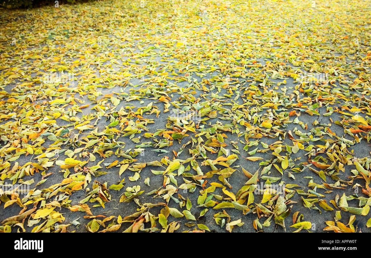 Golden leaves scattered on concrete - Stock Image
