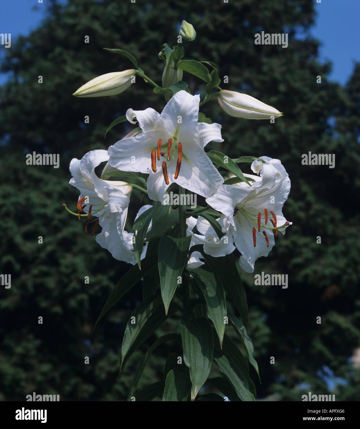 Regal lily Lilium regale in full flower - Stock Image