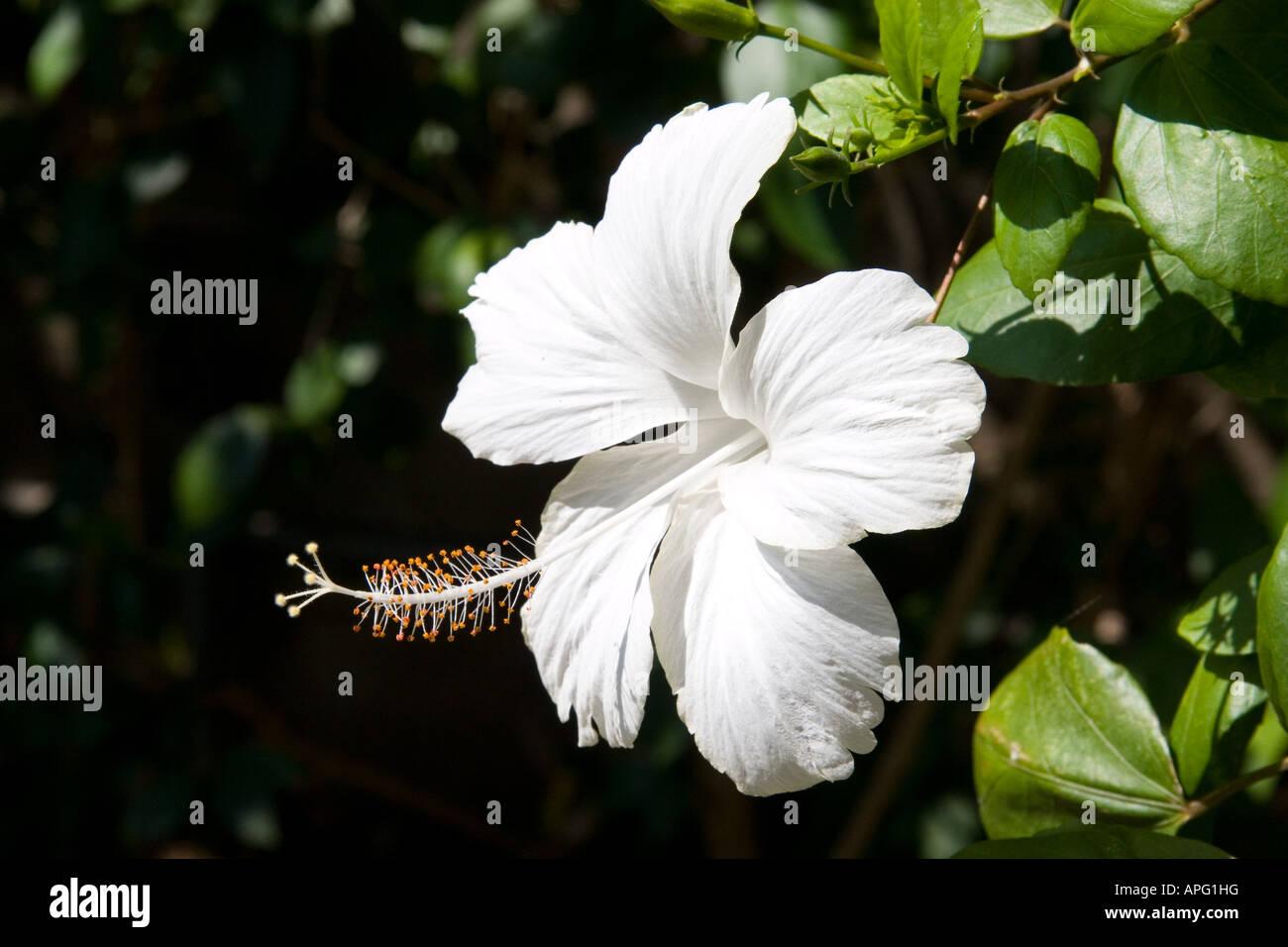 White hibiscus flower hawaii stock photo 15780891 alamy white hibiscus flower hawaii mightylinksfo