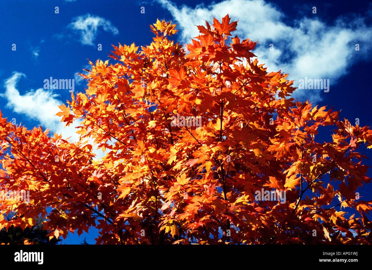Fall colored leaves on a tree - Stock Image