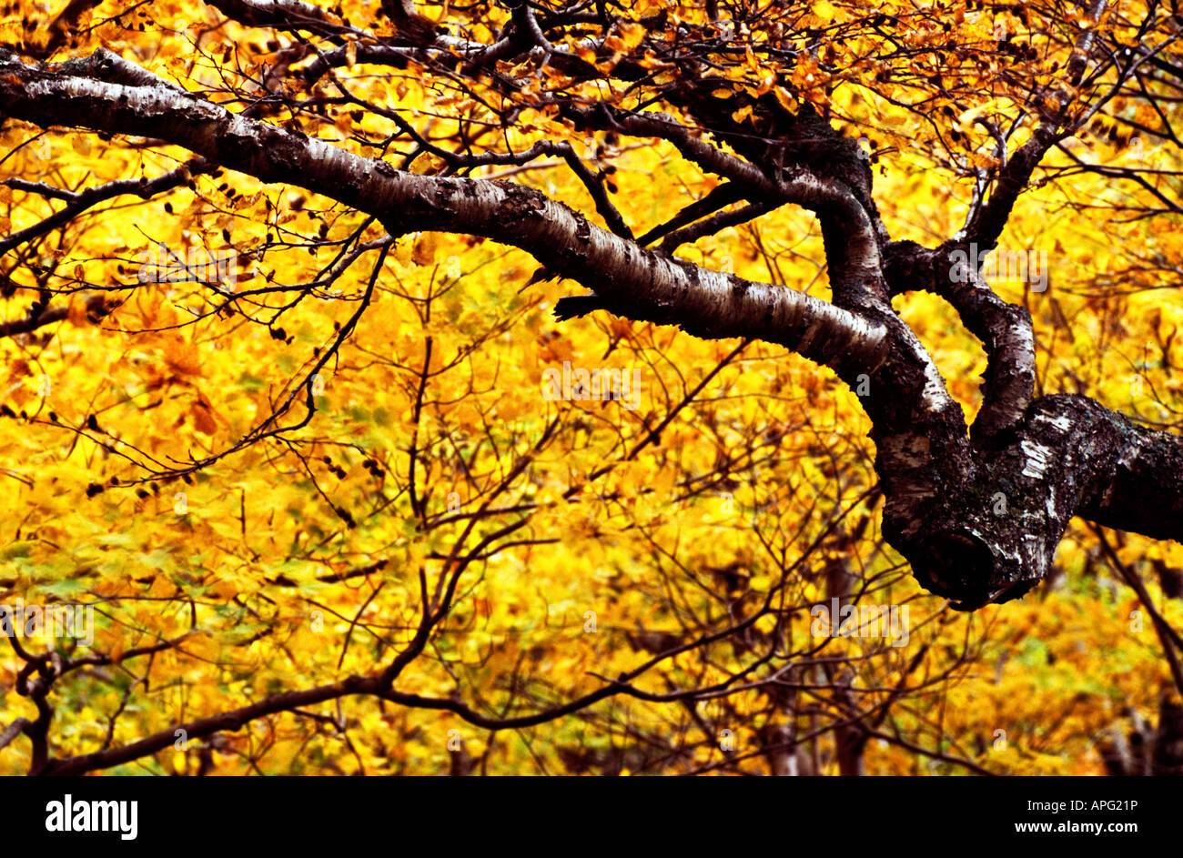 Tree in the fall - Stock Image