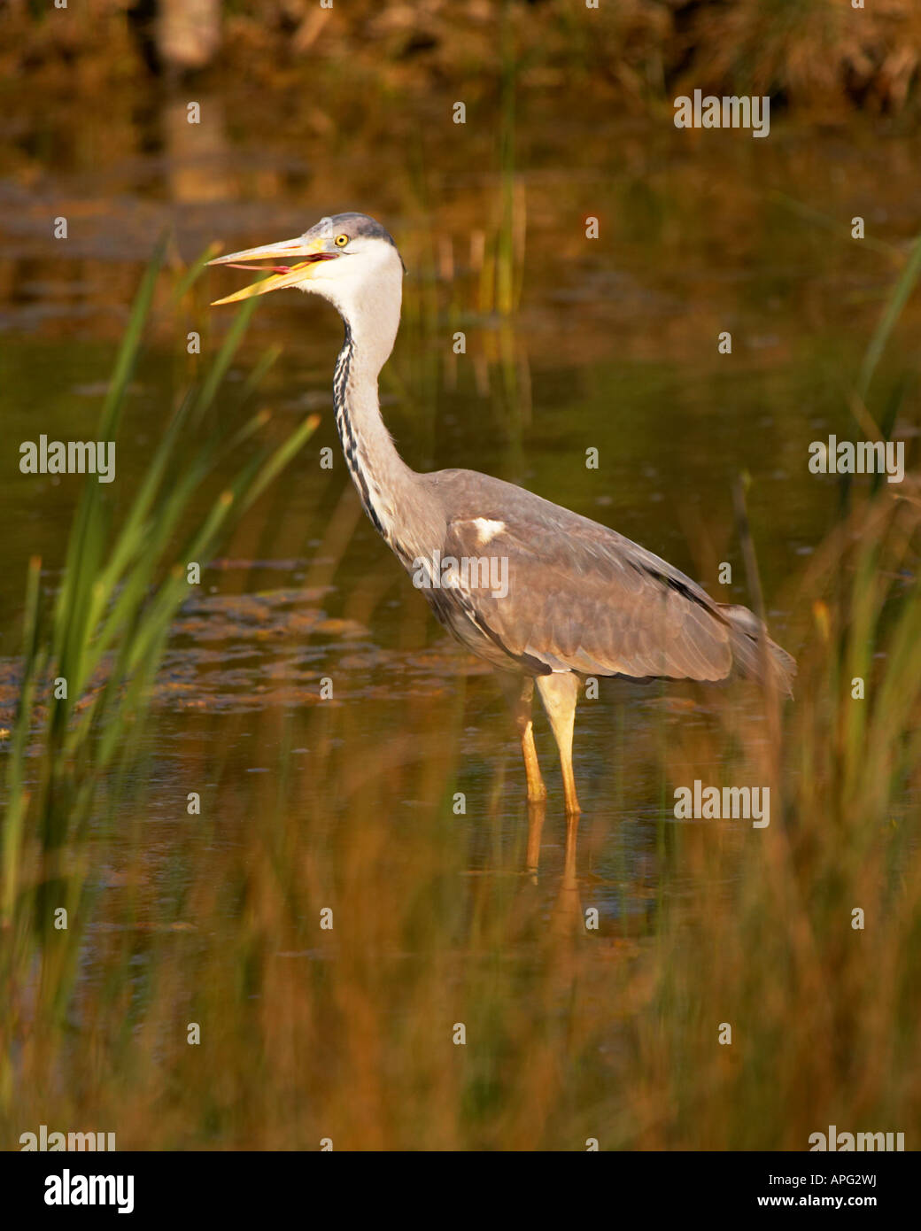 heron showing tounge in reeds in pond - Stock Image