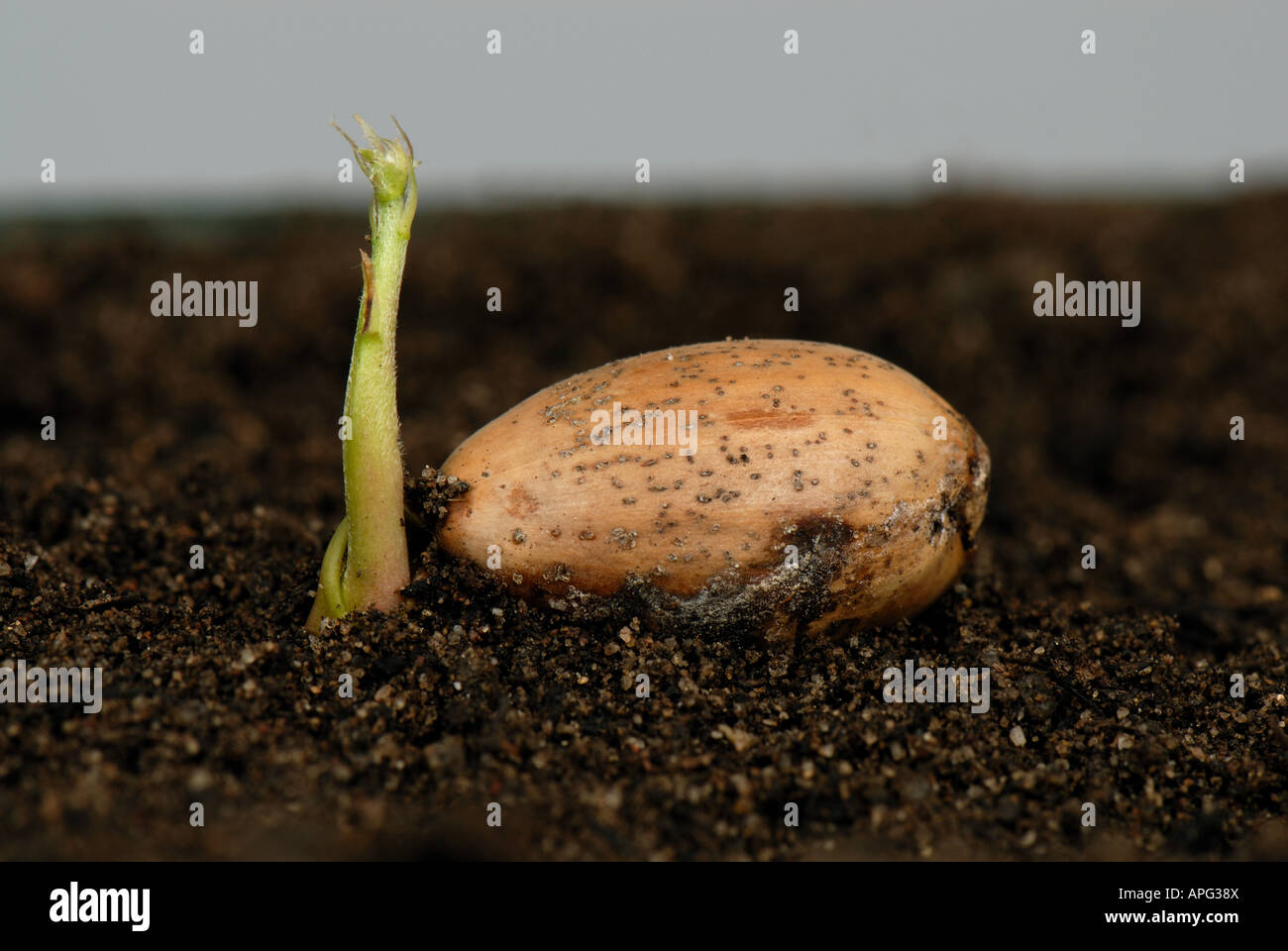 An oak Quercus robur acorn lying on the soil germinating aerial shoot beginning to develop - Stock Image