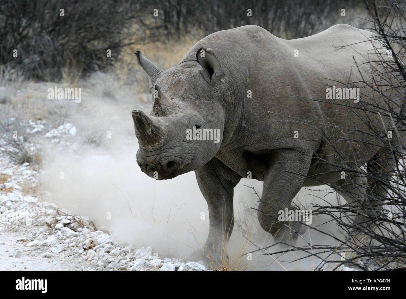 Black Rhino Charging - Stock Image
