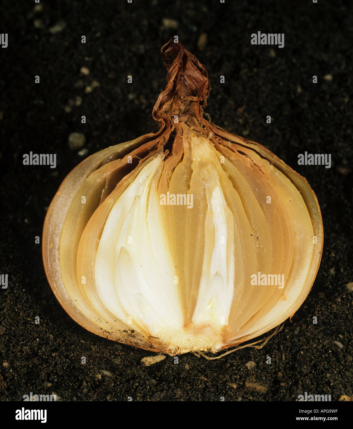 Neck rot Botrytis allii section through onion bulb showing advancing rot - Stock Image