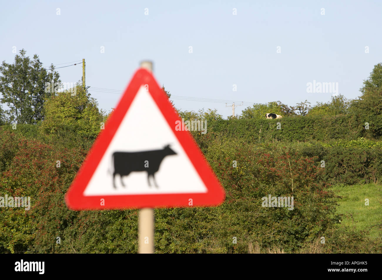 triangular red white and black cattle crossing ahead warning road sign with cow in field in the distance - Stock Image