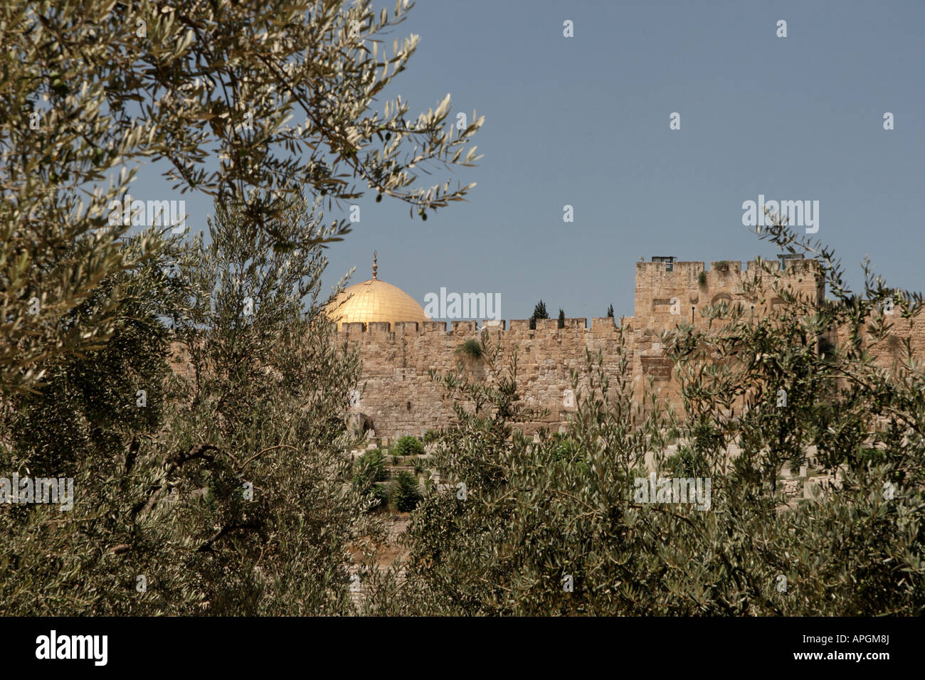 Israel Jerusalem Olive Trees In The Garden Of Gethsemane   Stock Image