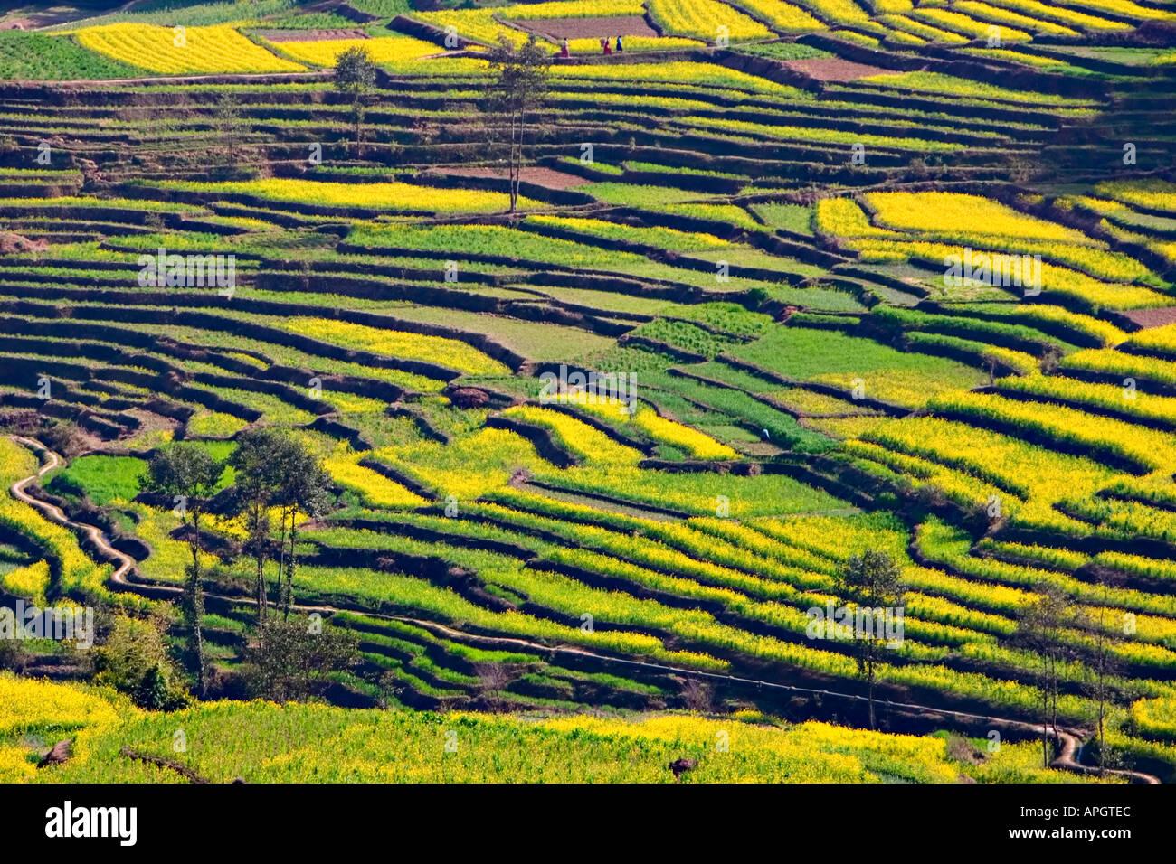 Terraced rice paddies in the Kathmandu valley Nepal - Stock Image