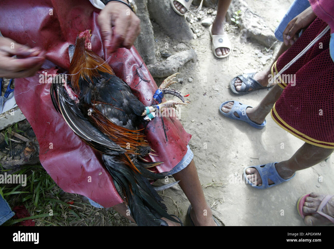 """A """"chicken doctor"""" mends a wounded fighting bird outside a rural cockhouse in Oriental Mindoro, Philippines. Stock Photo"""