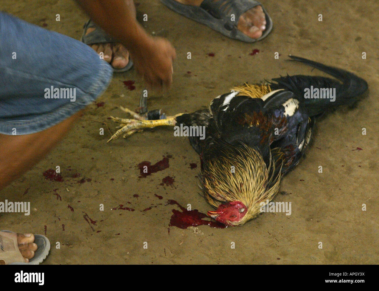 A fatally wounded bird is collected by its owner following a fight at a rural cockhouse in Oriental Mindoro, Philippines. Stock Photo