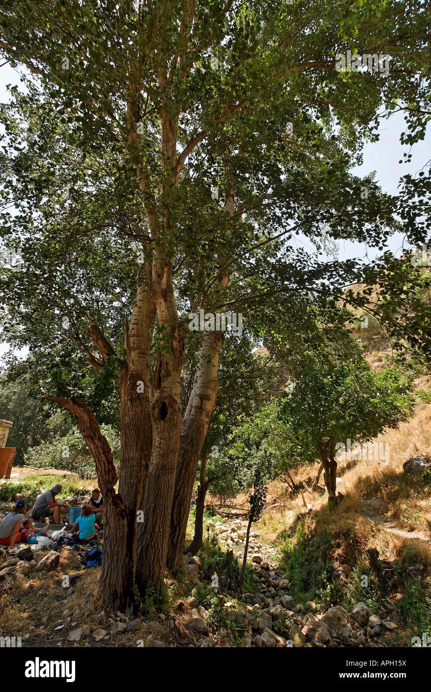 Israel Upper Galilee White Poplar trees near Kerem Ben Zimra - Stock Image