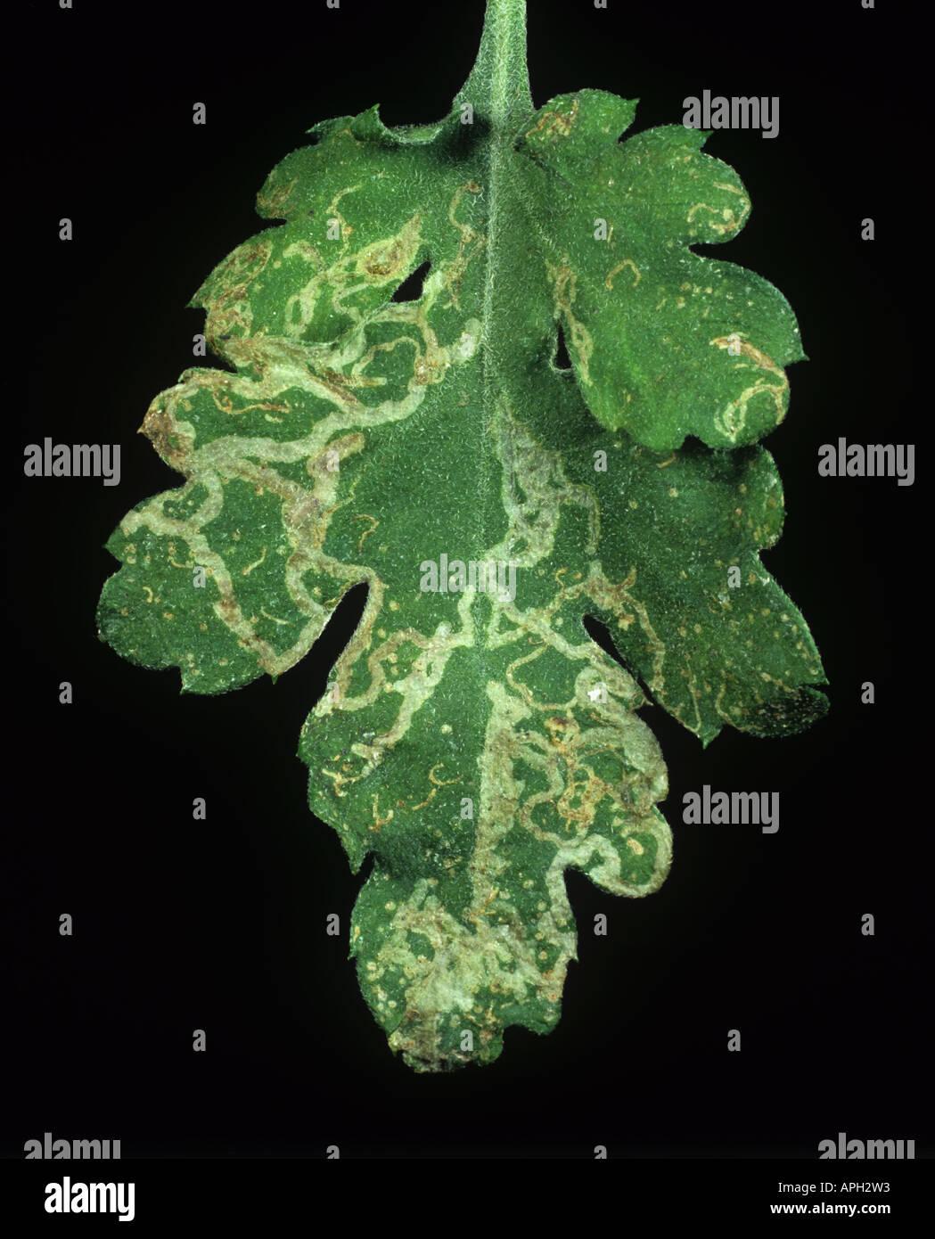 Chrysanthemum leaf miner Chromatomyia syngenesiae mine damage to a chrysanthemum leaf Stock Photo