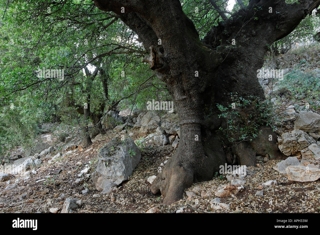 The Golan Heights Kermes Oak Quercus calliprinos on Mount Betarim the location of the covenant between the pieces - Stock Image