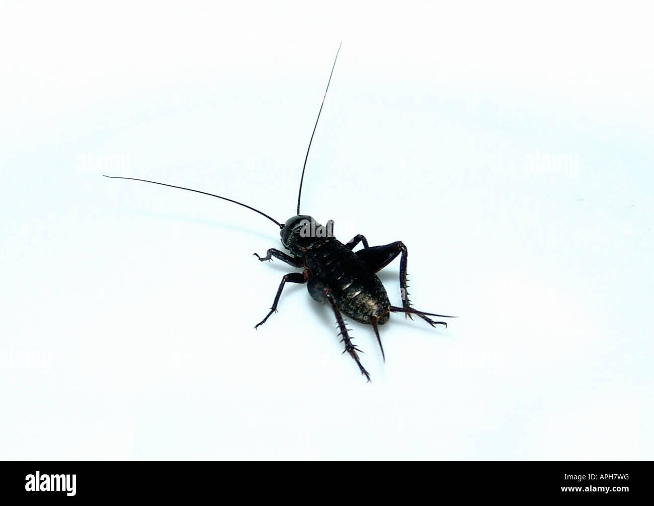 Cricket on white - Stock Image