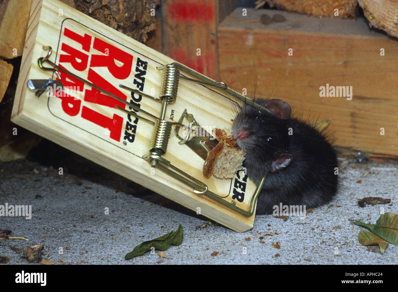 Rat with bait in mouth caught in trap place in woodshed - Stock Image