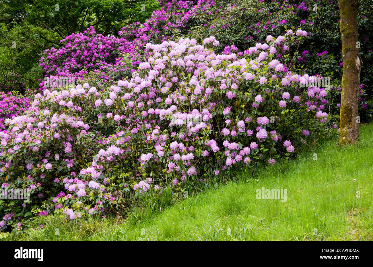 Purple rhododendron bushes in flower at Bowood House Rhododendron Walks, Chippenham, Wiltshire, England, UK Stock Photo