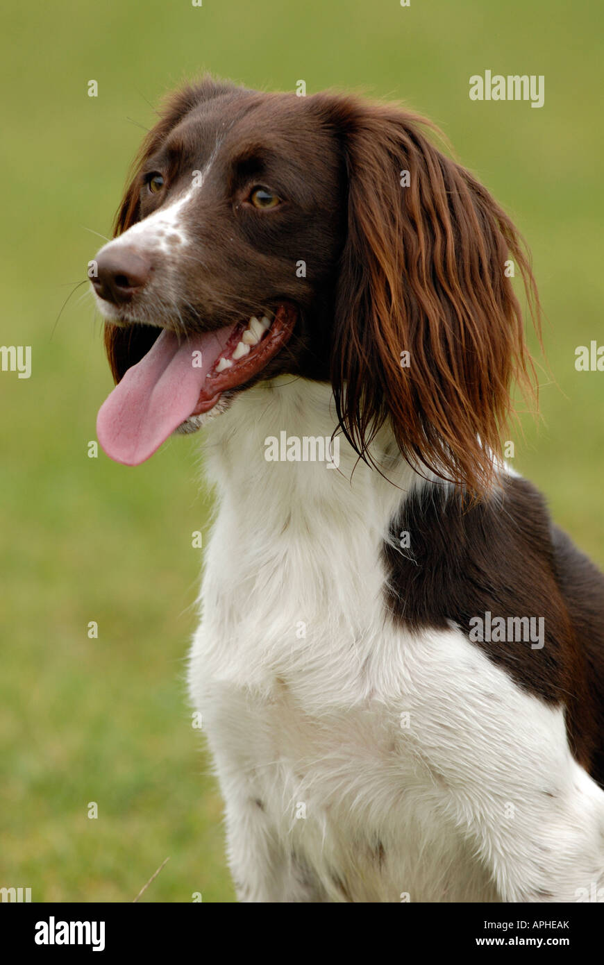 a mad springer spaniel with ears flopping or flying in the wind having fun - Stock Image