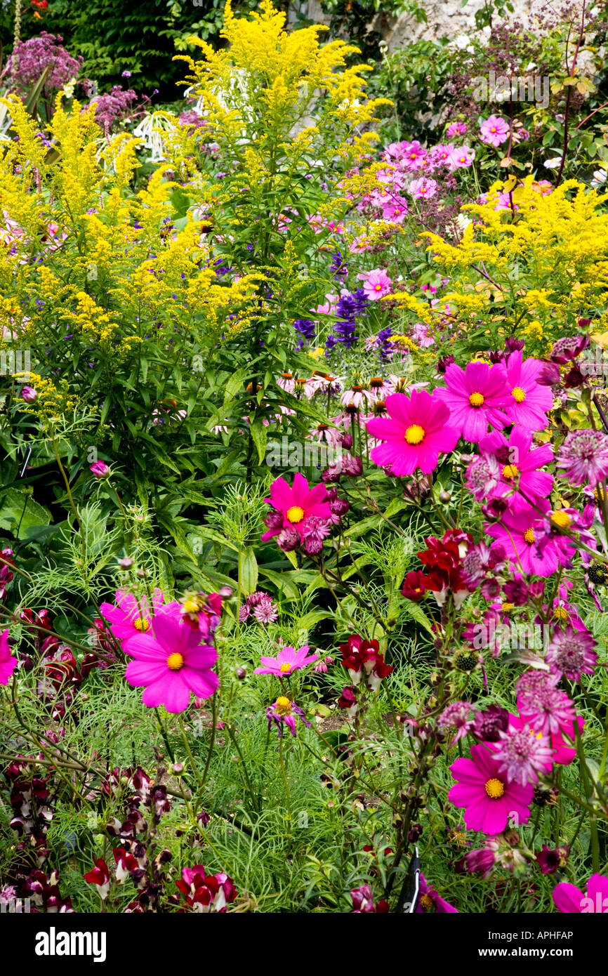 Summer border of annuals and herbaceous perennials including cosmos summer border of annuals and herbaceous perennials including cosmos purple sensation in the foreground and solidago behind izmirmasajfo Gallery