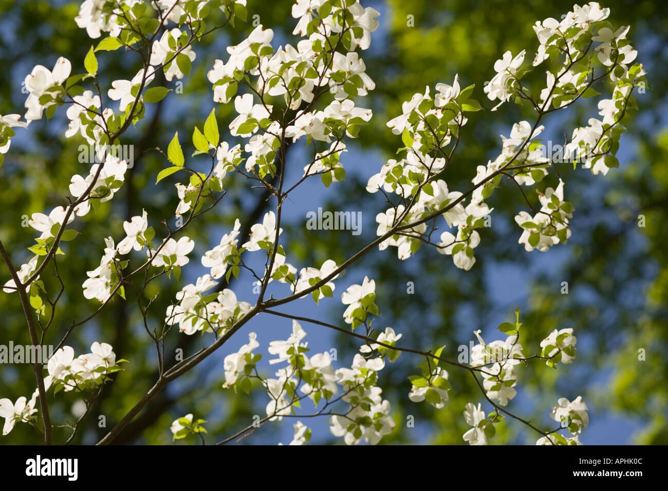Washington dc arboretum white dogwood flowers cornus florida stock washington dc arboretum white dogwood flowers cornus florida cornaceae mightylinksfo