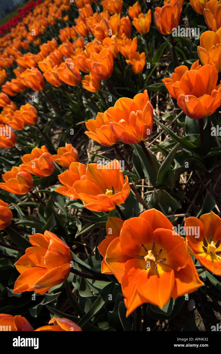 Looking into the heart of  small orange tulips. Extreme wide angle close up view. Strong diagonal pattern. - Stock Image