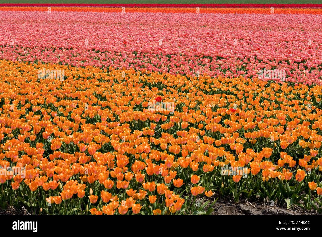 Holland. Netherlands. Endless tulip fields. - Stock Image