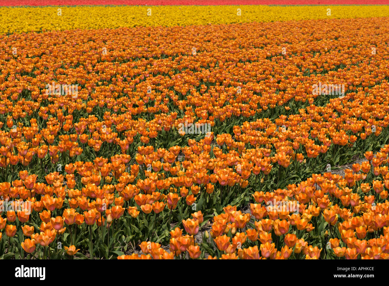 Springtime in Holland. Netherlands. Endless tulip fields. - Stock Image