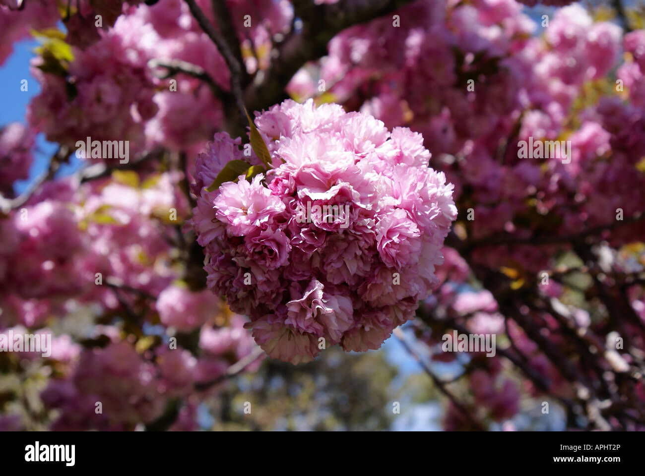 A Group Of Light Pink Flowers On A Flowering Tree Stock Photo