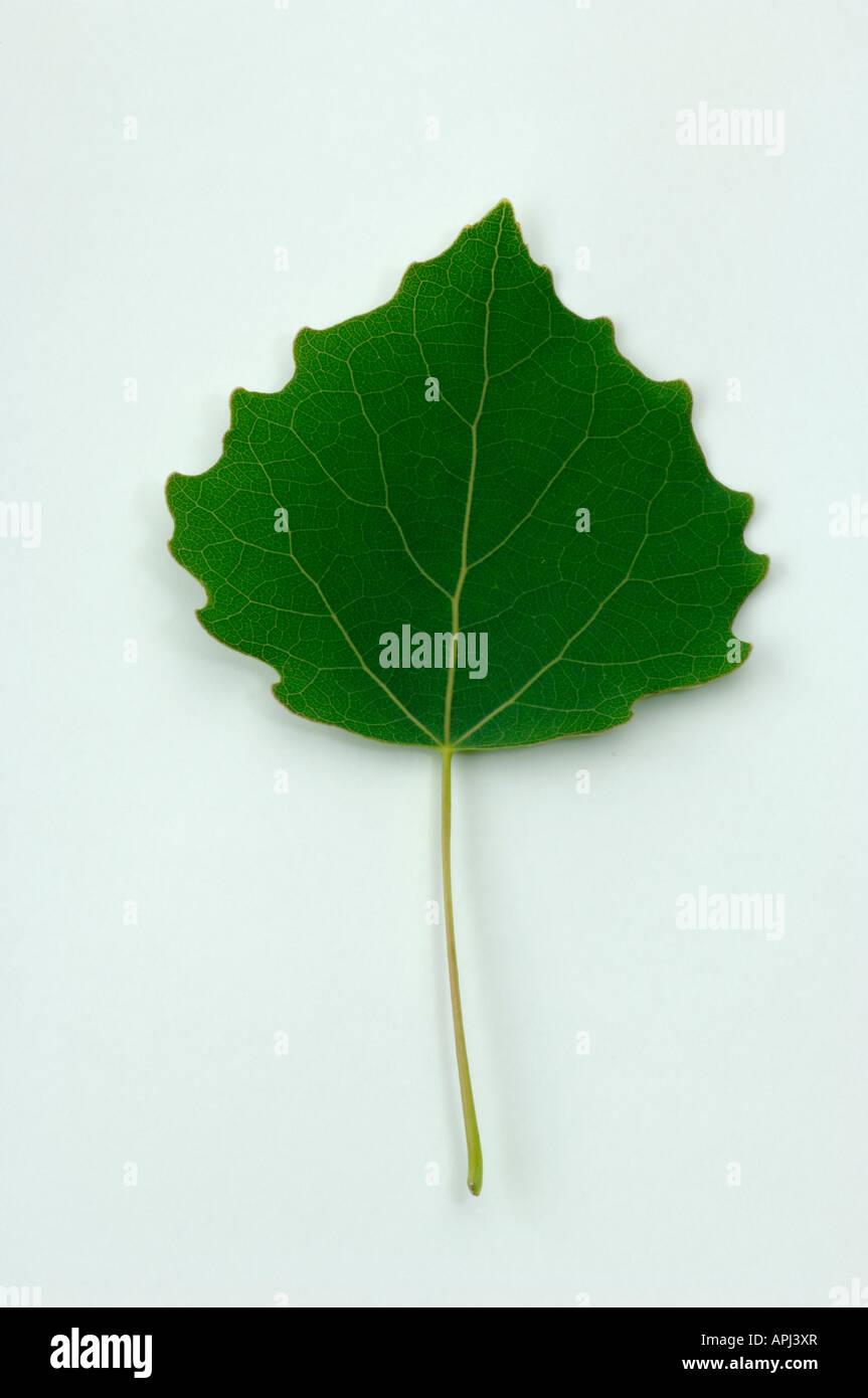 Aspen Populus tremula leaf studio picture - Stock Image