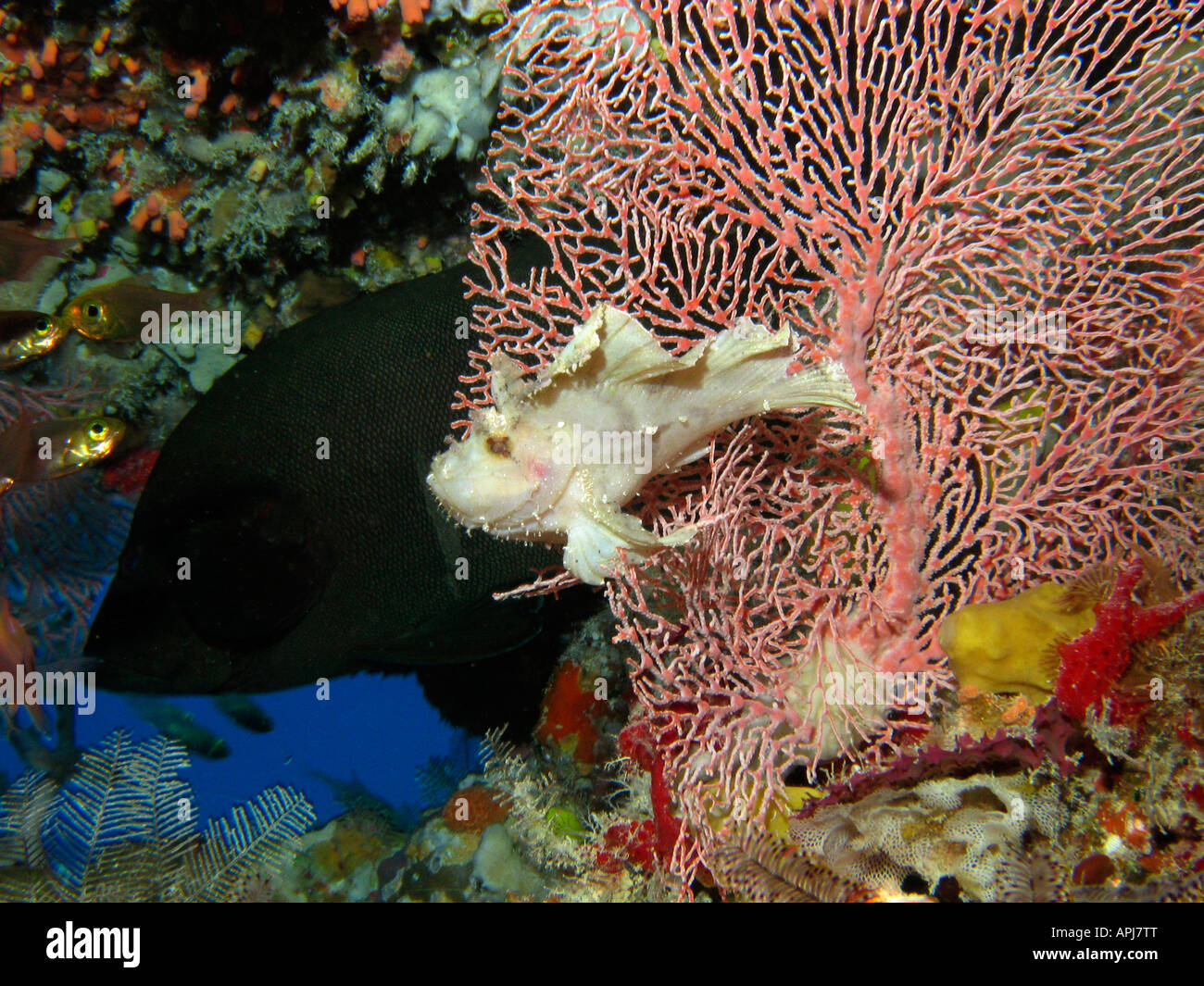 Scorpionfish Red flushed Rockcod and Fan Coral Agincourt Reef Great Barrier Reef North Queensland Australia Stock Photo