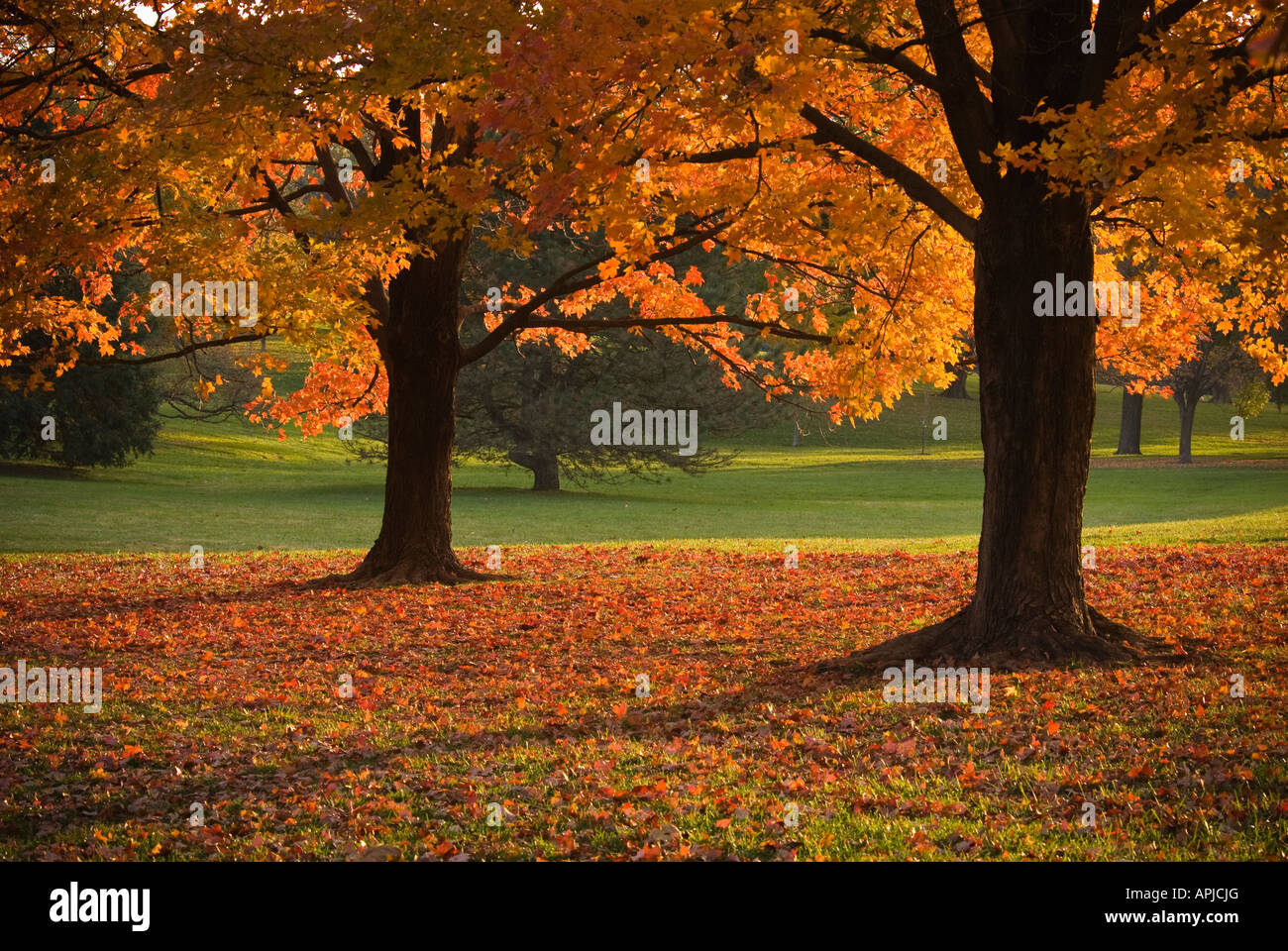 Maple trees in Park - Stock Image