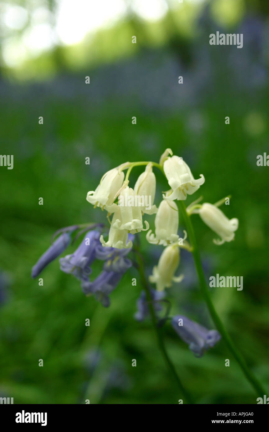 White and Bluebells - Stock Image