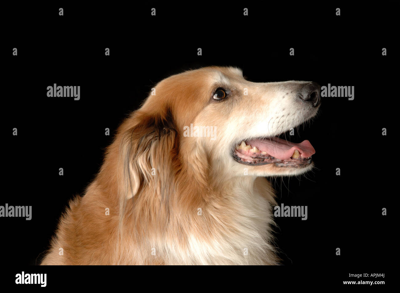 Collie dog - Stock Image