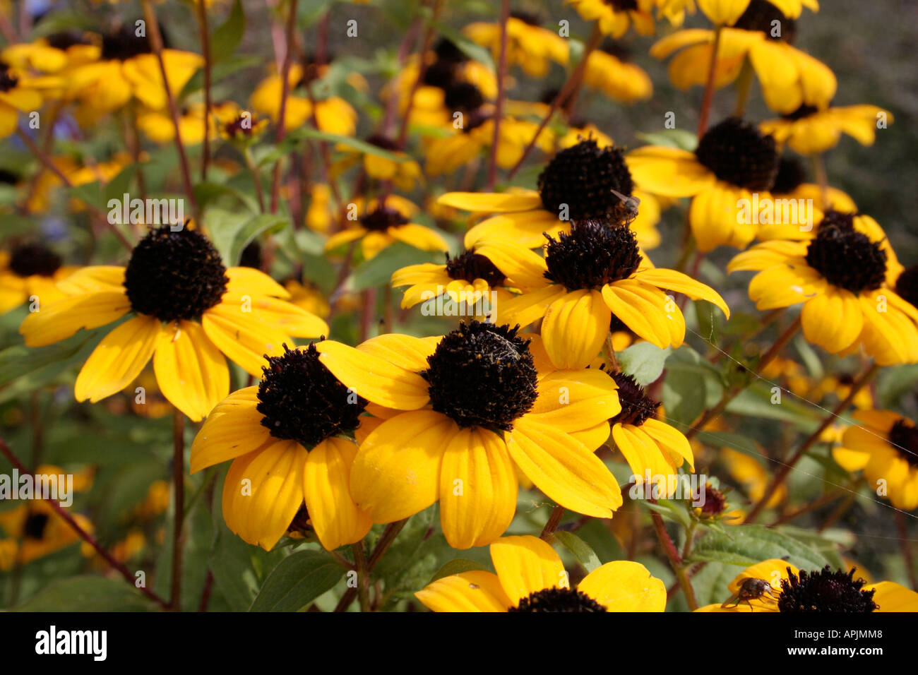 Rudbeckia Triloba Provides Copious Bright Yellow Flowers In Late
