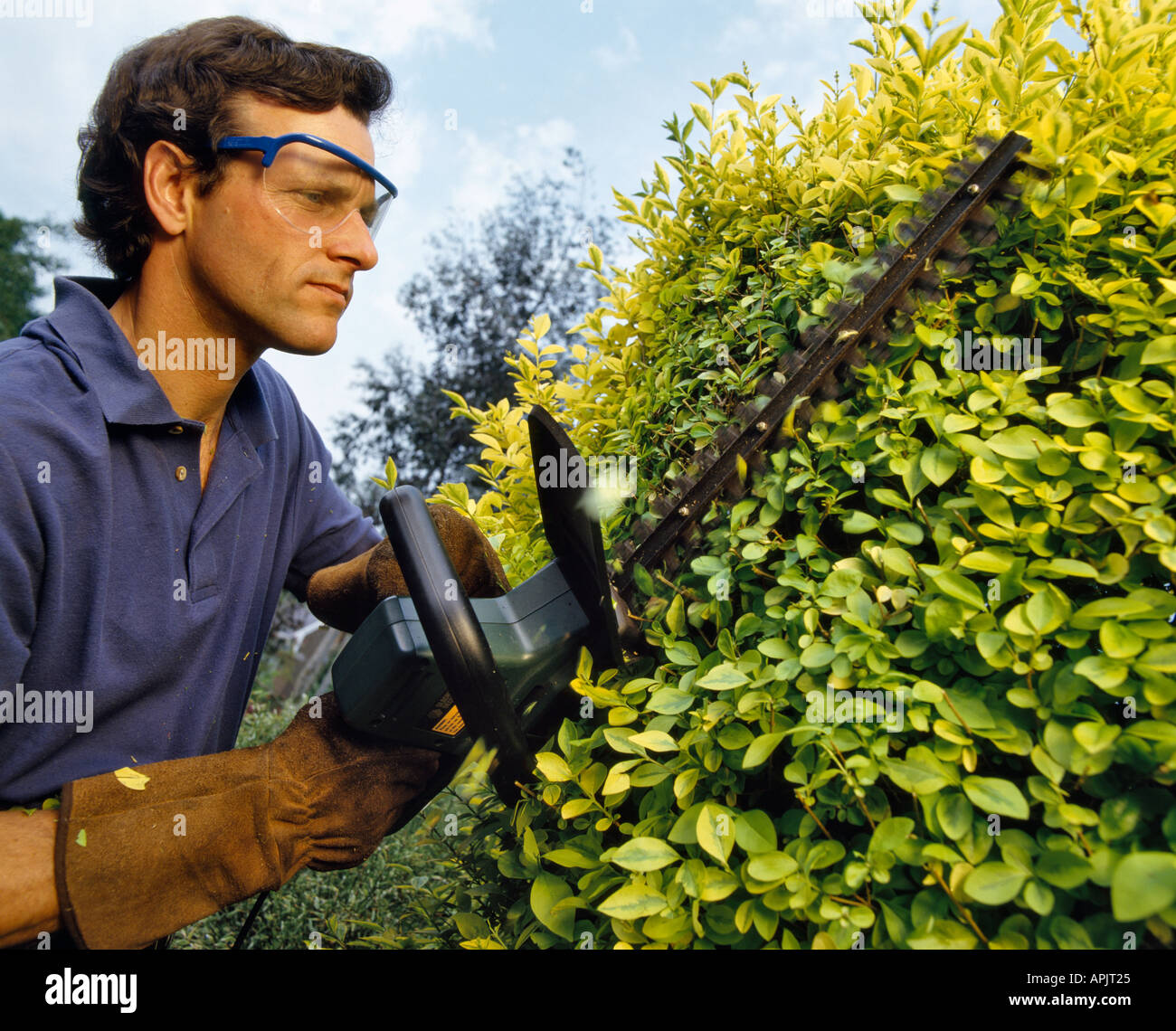 MAN TRIMMING PRIVET ( LIGUSTRUM VICARYI )HEDGE WITH ELECTRIC TRIMMER WEARING SAFETY GLASSES - Stock Image