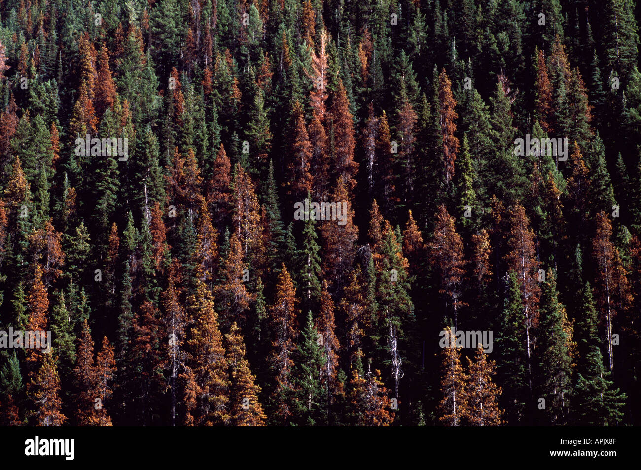 Dying Lodgepole Pine Trees (Pinus contorta) in Forest infested by Mountain Pine Beetle Infestation, BC, British Columbia, Canada - Stock Image