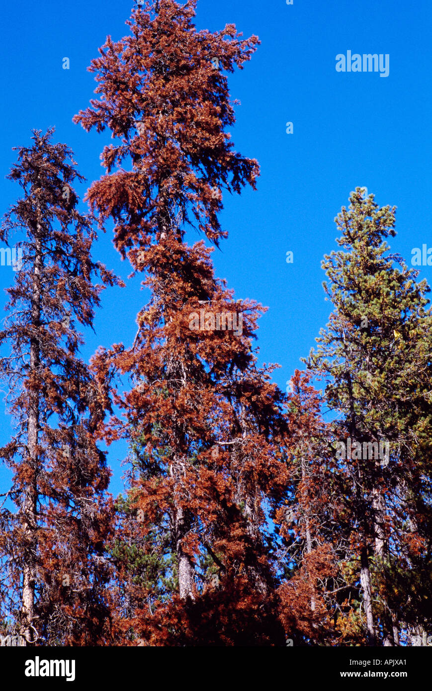 Dying Lodgepole Pine Trees (Pinus contorta) infested by Mountain Pine Beetle, Insect Infestation, BC, British Columbia, Canada - Stock Image