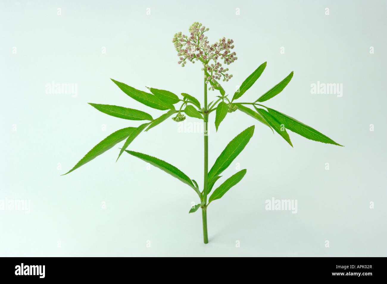 Danewort, Dwarf Elder, European Dwarf Elder, Walewort (Sambucus ebulus), flowering twig, studio picture - Stock Image